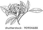 Plant Kalmia Latifolia ...