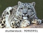 Snow Leopard's Portrait