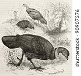 Small photo of Australian Brushturkey old illustration (Alectura lathami). Created by Kretschmer and Jahrmargt, published on Merveilles de la Nature, Bailliere et fils, Paris, ca. 1878
