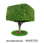 Isolated Square Ficus Tree ...