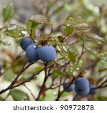 Close Up Of Blueberries In The...
