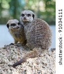 Two Adorable Meerkats On Rock