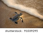 Newly Hatched Baby Turtle...