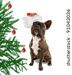 a french bulldog isolated on a white background with a christmas tree and santa hat - stock photo