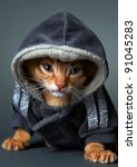 Stock photo kitten abyssinian age month 91045283