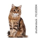 Cute Young Siberian Cat On...