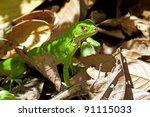 Juvenile Green Iguana Among The ...