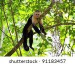 White Faced Capuchin Sitting I...