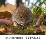 Bank vole (Clethrionomys glareolus) sitting on forest floor - stock photo