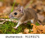 yellow necked mouse walking on forest floor - stock photo