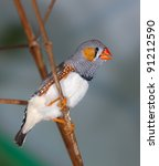 The Singing Zebra Finch On A...