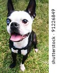 Boston Terrier Dog with One Blue Eye / Boston Terrier Dog sits on the grass and has one Blue eye. He also is wearing a harness that could be removed if needed. - stock photo