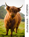 Highland Cow In Field Showing...