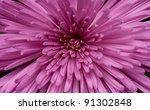 Close Up Of Chrysanthemum