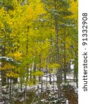 First snow in the aspen forest - stock photo