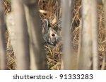 Hiding Cottontail Rabbit