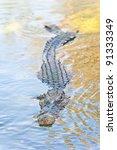 Crocodile With Head Above Water