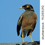 Common Myna  Acridotheres...