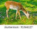 Sika Deer Female Eating Grass