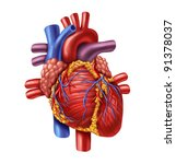 human heart anatomy from a... | Shutterstock . vector #91378037