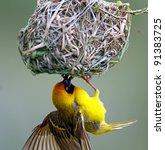 Masked Weaver  Ploceus Velatus...