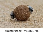 Two Dung Beetles On Ball Of...