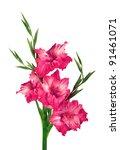 Beautiful Pink Gladiolus...