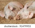 Two Pigs Laying On The Dirt In...