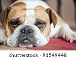 English Bulldog laying on a red and cream carpet. She is looking at the camera. Typical Bulldog boredom.. - stock photo