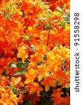 bright shrub of rhododendron... | Shutterstock . vector #91558298