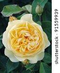 yellow flower of rosa graham... | Shutterstock . vector #91559939