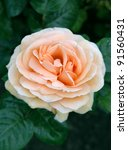 orange flower of rosa indian... | Shutterstock . vector #91560431