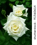 Stock photo white rose flowers with buds 91560614