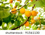 Branch Of Tree With Apricot...