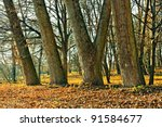 Trunks Of Large Old Trees In...