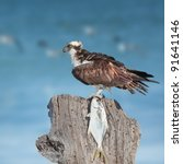 ospreys with catch on sea ... | Shutterstock . vector #91641146