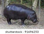 Pygmy Hippopotamus In Forest  ...