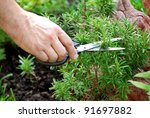 Hand Cutting A Green Fresh...