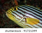 Oriental sweetlips in the coral reef - stock photo