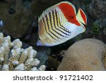 Eritrean butterflyfish in the coral reef - stock photo