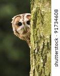 Tawny Owl Looking Around Tree