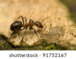 ant   formica rufa | Shutterstock . vector #91752167