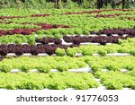 hydroponic vegetable in farm - stock photo