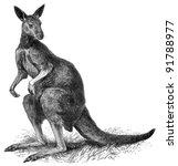 Eastern grey kangaroo  acropus...