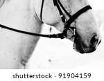 Lipizzaner White Horse with reins from the side closeup of the bit - stock photo