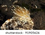 Small photo of A white line dirona sitting on a rock
