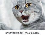 Stock photo emotional british shorthair cat 91913381