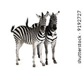 Zebra In Front Of A White...