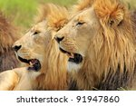 Two African Lions