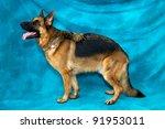 A Young German Shepherd Dog In...